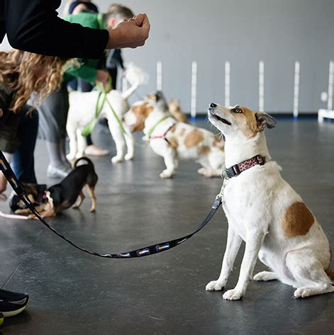 obedience school for dogs classes school obedience puppy agility