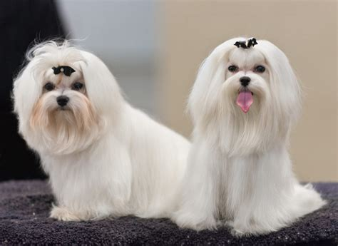 how far can dogs see 10 amazing things about maltese dogs maltese facts