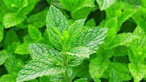 Pohon Mint Daun Mint manfaat dari daun mint bagi kesehatan fakta co id