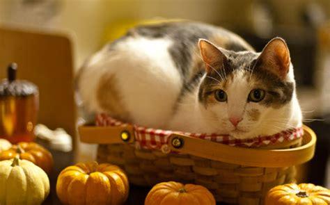 kitty kat themes free download animal themes for windows 7
