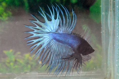 Crowntail Blue Stell ct92 solid steel blue crowntail betta 138
