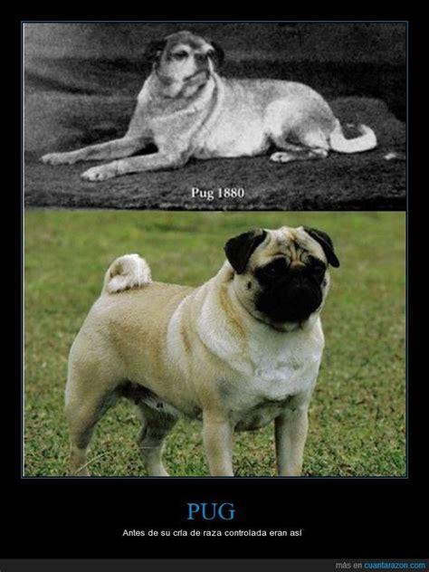 tipos de perros pugs 161 cu 225 nta raz 243 n pug