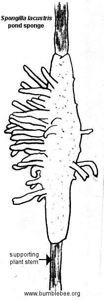 Porifera - Demospongiae(sponges)