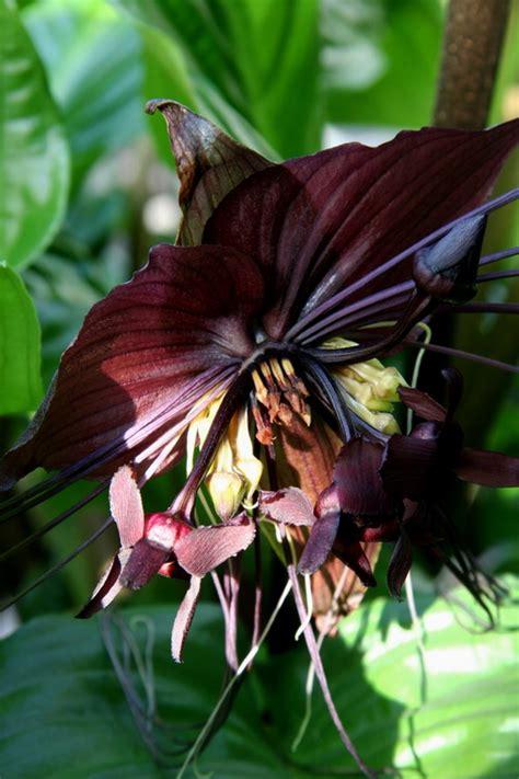 fiore pipistrello giardinaggio piante strane la pianta pipistrello