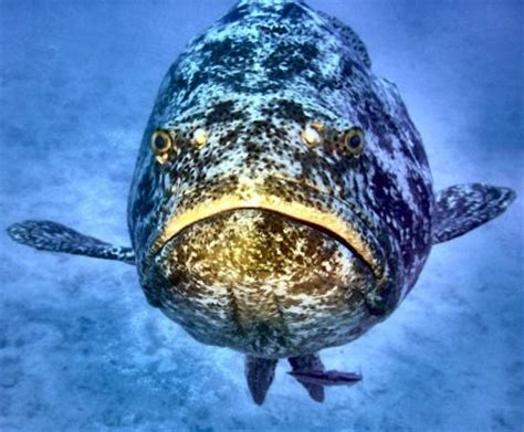 Photo Scanner: Jewfish