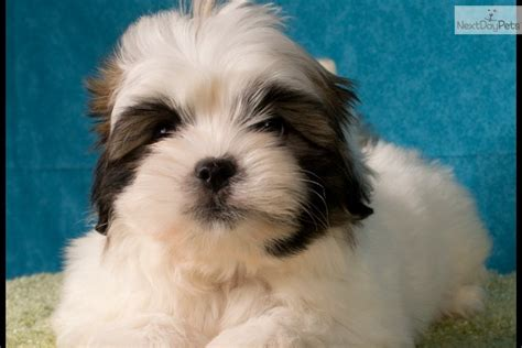 teacup yorkies for sale northern ireland maltese terrier puppies for sale northern ireland breeds picture