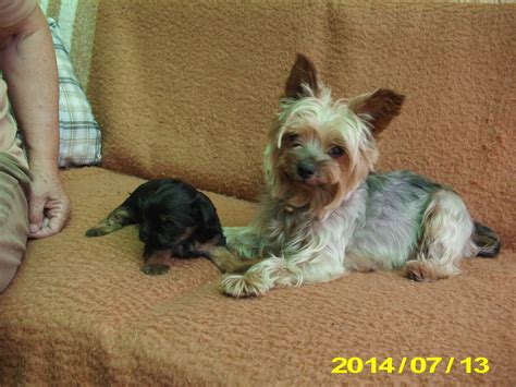 how much should a yorkie puppy eat terrier elado dogs in our photo