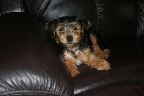 boy yorkie puppies for sale yorkie puppies for sale 1 boy mold clwyd pets4homes