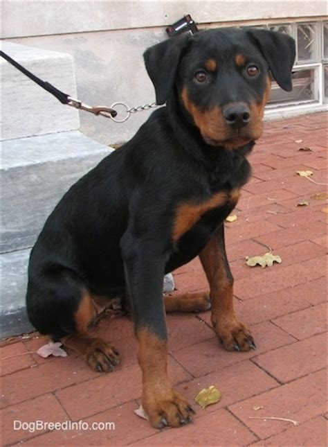 rottweiler 1 month rottweiler breed information and pictures