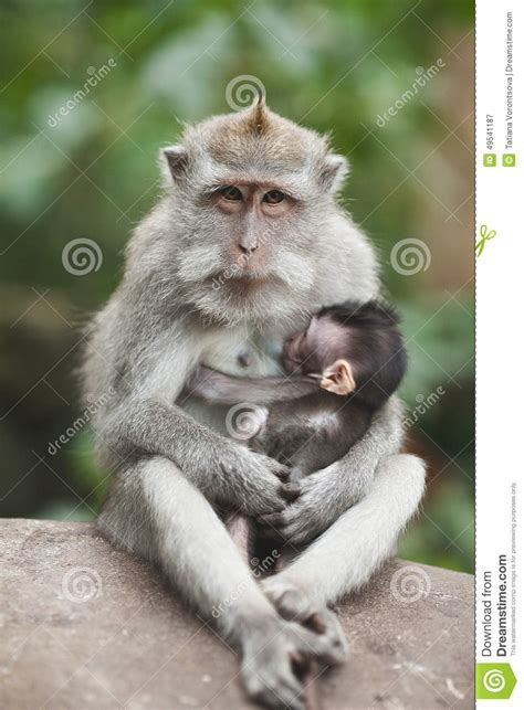 baby monkey feeding time monkey stock photo image 49541187