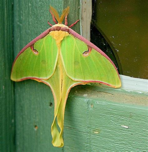 luna moth animal love pinterest