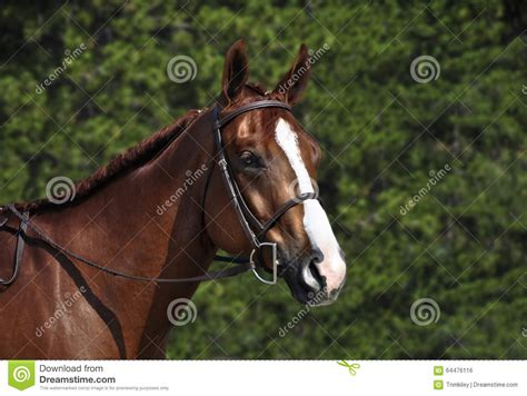testa in inglese briglia d uso inglese della testa di cavallo fotografia