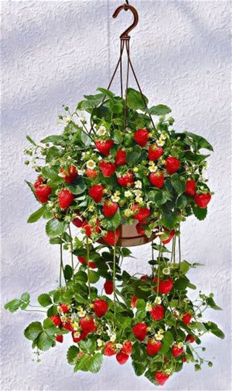 Hanging Plants For Patio by For Patio Gardens Plant Strawberries In A Hanging Basket