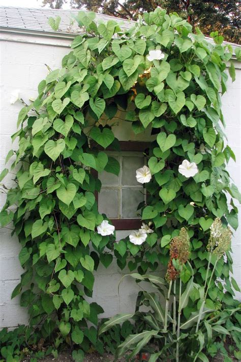 25 best ideas about morning glory flowers on pinterest climbing flowers morning glories and