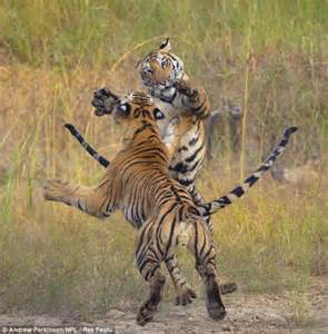 Bengal tiger fight at bandhavgarh national park in india by national