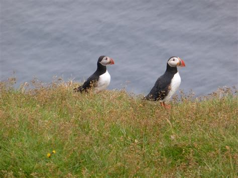 puffins in iceland a day trip to the westman islands