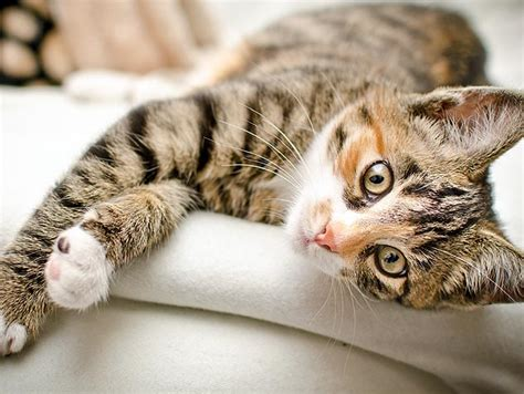 caring cats petfinder