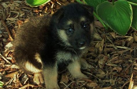 german shepherd puppies for adoption retriever german shepherd dalmatian boxer akita airedale terrier breeds picture