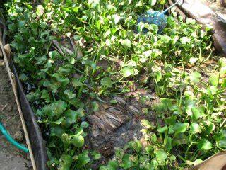 Budidaya Cacing Tanpa Lumpur bocah gemblung belut tanpa lumpur ii
