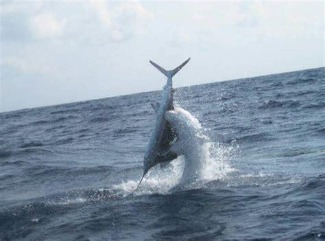 sailfish vs boat sailfish vs mako offshore fishing pinterest shark