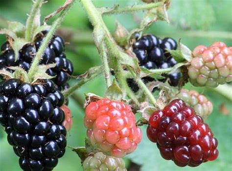 Bibit Blackberry benih blackberry bush