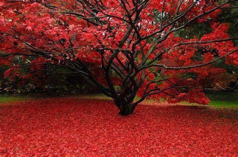 japanese maple tree wallpaper hd  uploaded  anamika sharma wallpaper id