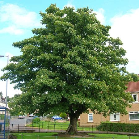 american sycamore american sycamore tree for sale fast growing trees