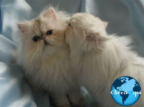foto gatti persiani cuccioli allevamento di maritato gatti