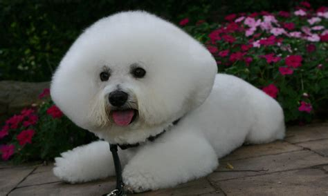 dog hair styles new haircut weird japanese trends archives the happy pet company