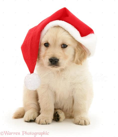 puppy with santa hat golden retriever pup wearing a santa hat photo wp12798