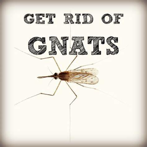 how do i get rid of gnats in my house how to get rid of gnats in homes