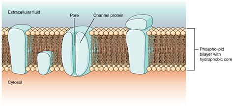 cell membrane cross section 12 4 the action potential anatomy and physiology