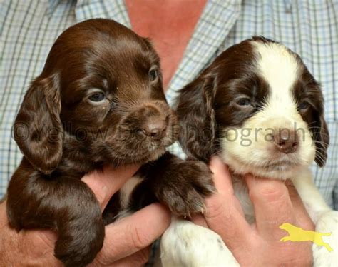 chocolate cocker spaniel puppies adorable chocolate cocker spaniel puppies newbridge midlothian pets4homes