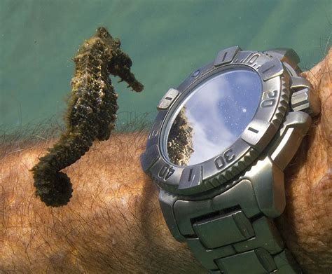 Checks Out Own by Picture Of The Day A Seahorse Inspects A Diver S