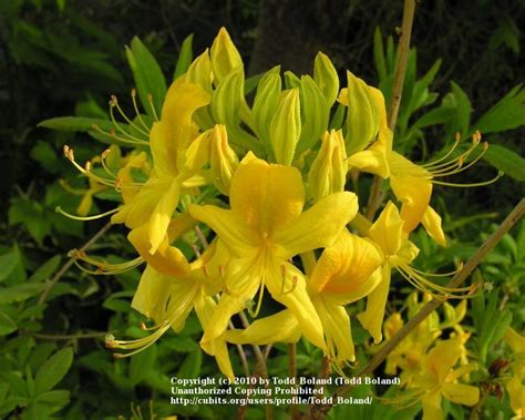 eurasian plant with fragrant white flowers rhododendrons and azaleas cubit eurasian deciduous azalea