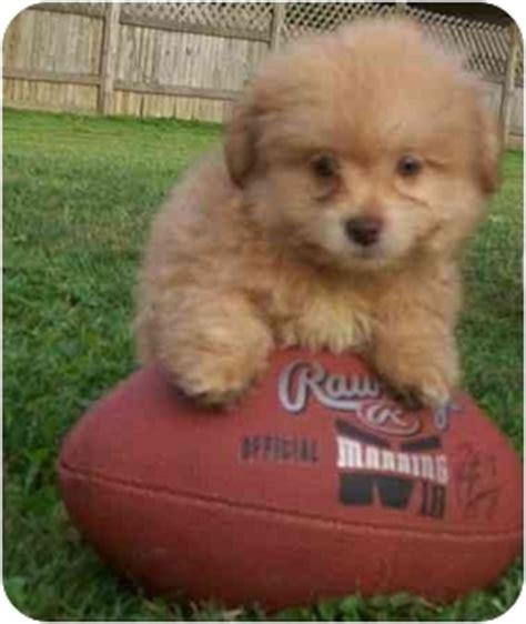 shih tzu pomeranian mix price pomeranian chihuahua mix puppies for sale ohio breeds picture