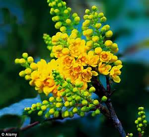 color me mine flower mound make mine a mahonia dazzling yellow flowers are the