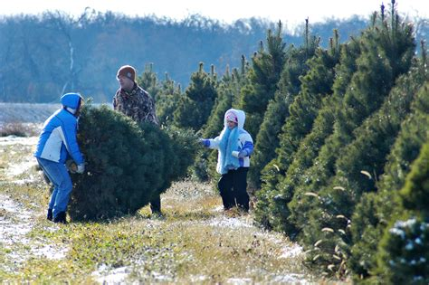 cut down your own christmas tree near chicago
