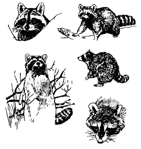 raccoon tattoos designs raccoon pictures pics images and photos for your