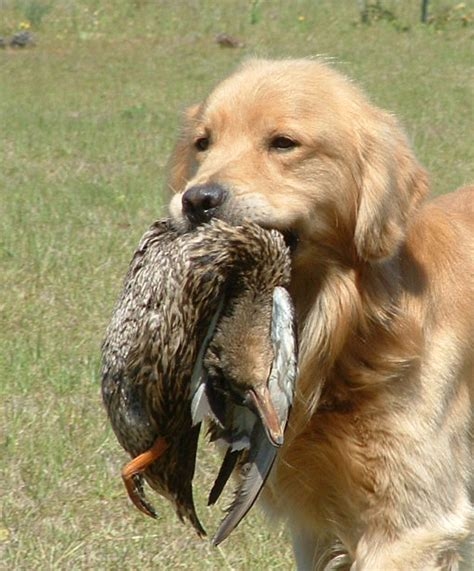 best bird dogs best pheasant dogs breeds picture