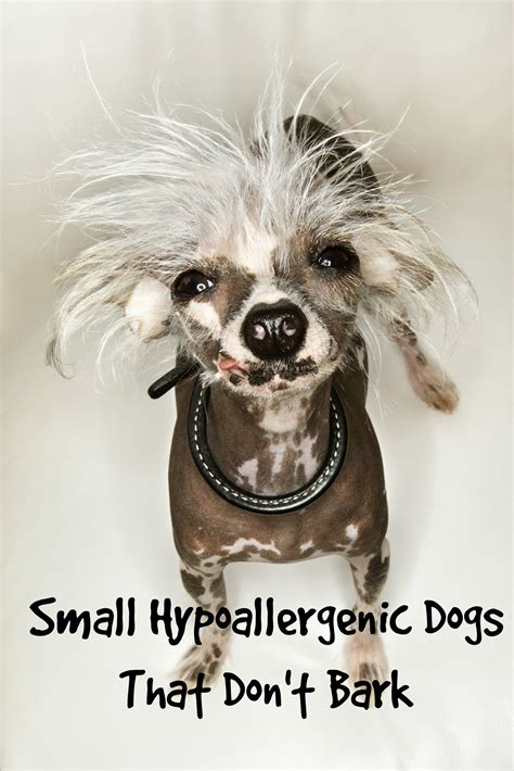 how to a small not to bark small hypoallergenic dogs that don t bark much vills