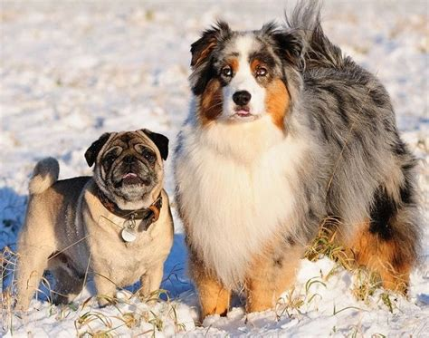 how much are pugs in australia australian shepherd pug mix petri blue the australian shepherd pug dailypuppy