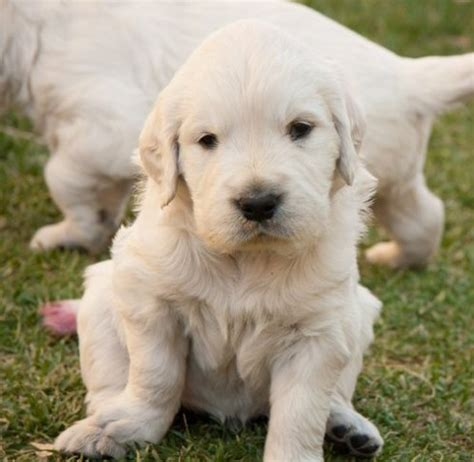 golden retriever till salu valpar golden retriever till salu golden retriever uppfdare sverige golden retriever