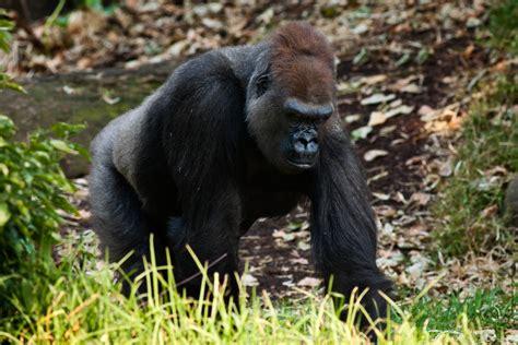 File:Western Lowland Gorilla Feb09 02.jpg