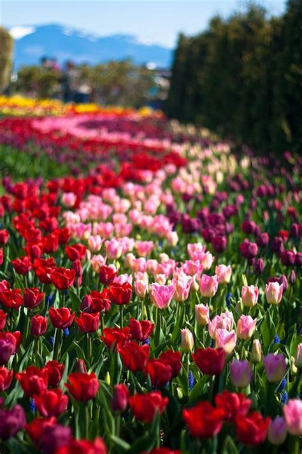 skagit valley tulip festival 2011 usa flowers gardens fields