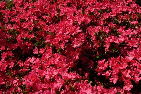 red flower bush azalea flowers  nature pictures