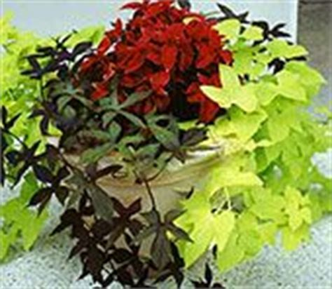 high heat plants sweet potato vines on pinterest fall containers