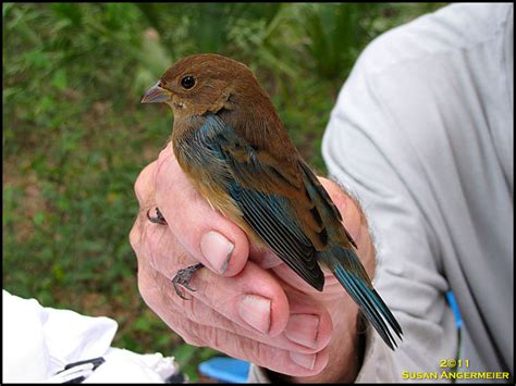 what do indigo bunting birds eat