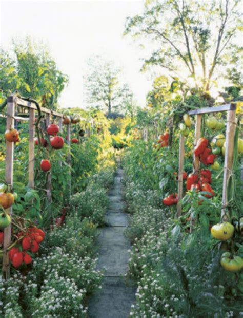 ornamental vegetable garden pictures with full of ripe tomatoes png