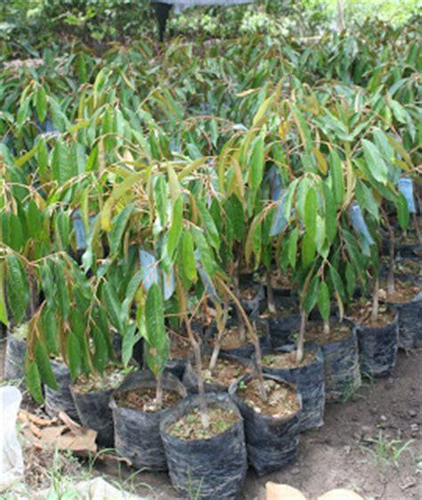 Bibit Durian Musang King Di Malang jual bibit durian unggul jual bibit durian di malang